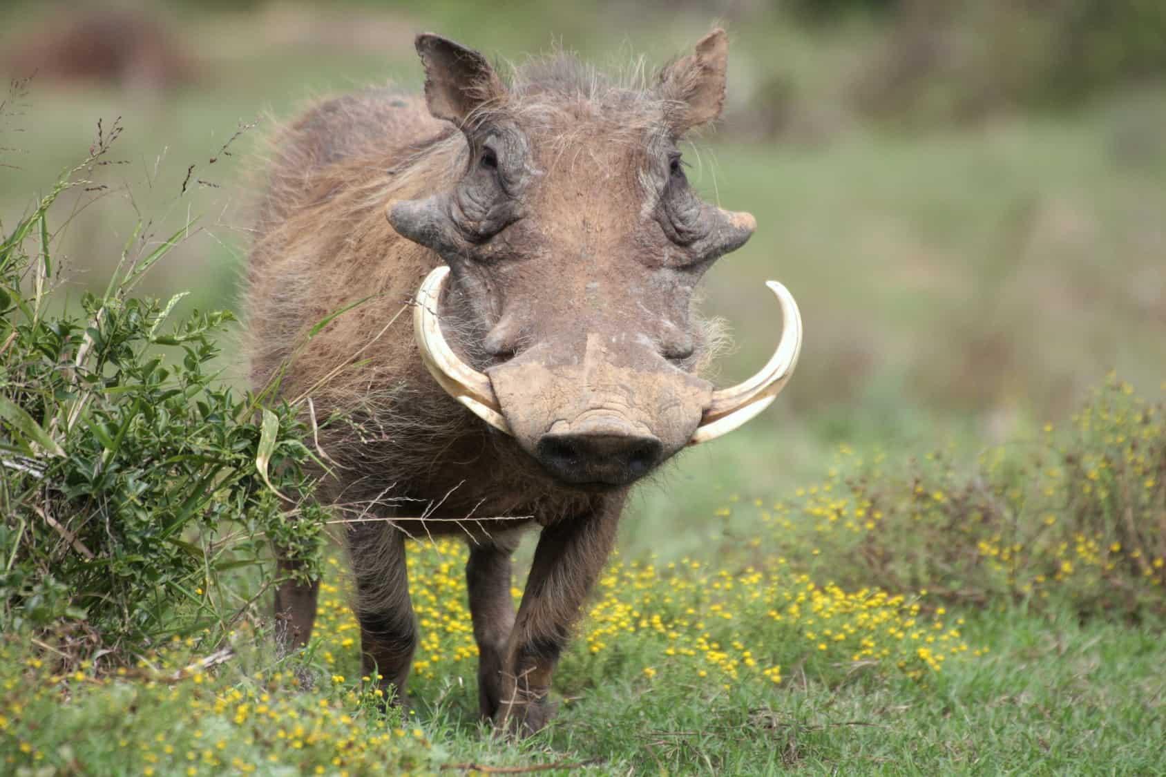 Jagdbares Wild Warzenkeiler | Jagdreisen Moldehn